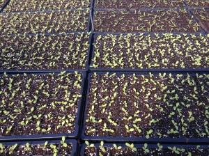 Greenhouse veg