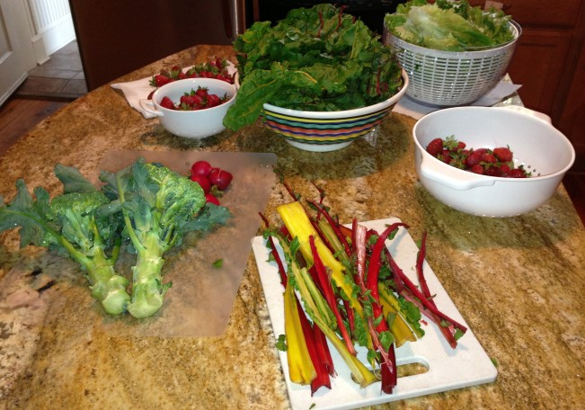 Swiss chard, rainbow chard, broccoli, strawberries, green leaf lettuce---mmmmmm . . .