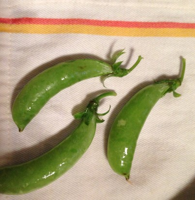 Shown pre de-collaring, these snap peas---the first of the season---did not last 2 hours before being eaten.