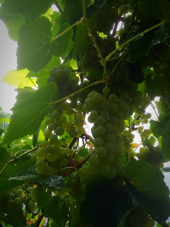 The grapes turned out surprisingly sweet, so Chef Emma will turn them into jelly!