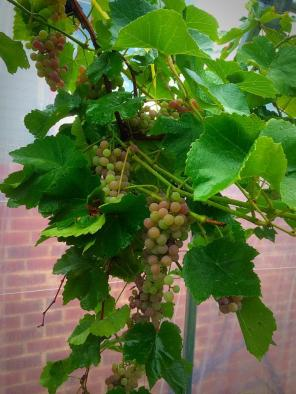 Grapevines!